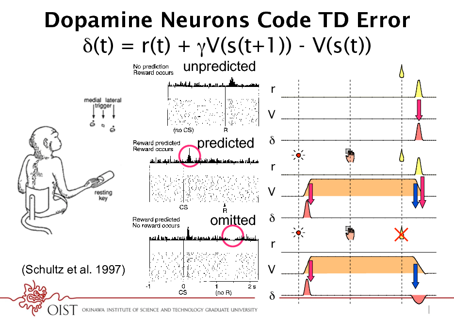 Slide: Dopamine Neurons Code TD Error (t) = r(t) + V(s(t+1)) - V(s(t)) 4 W. SCHULTZ  unpredicted  rr  V V  predicted  *  rr  V V  fails to occur, even in the absence of an immediately preceding stimulus (Fig. 2, bottom). This is observed when animals fail to obtain reward because of erroneous behavior, when liquid ow is stopped by the experimenter despite correct behavior, or when a valve opens audibly without delivering liquid (Hollerman and Schultz 1996; Ljungberg et al. 1991; Schultz et al. 1993). When reward delivery is delayed for 0.5 or 1.0 s, a depression of neuronal activity occurs at the regular time of the reward, and an activation follows the reward at the new time (Hollerman and Schultz 1996). Both responses occur only during a few repetitions until the new time of reward delivery becomes predicted again. By contrast, delivering reward earlier than habitual results in an activation at the new time of reward but fails to induce a depression at the habitual time. This suggests that unusually early reward delivery cancels the reward prediction for the habitual time. Thus dopamine neurons monitor both the occurrence and the time of reward. In the absence of stimuli immediately preceding the omitted reward, the depressions do not constitute a simple neuronal response but reect an expectation process based on an internal clock tracking the precise time of predicted reward. Activation by conditioned, reward-predicting stimuli About 5570% of dopamine neurons are activated by conditioned visual and auditory stimuli in the various classically or instrumentally conditioned tasks described earlier (Fig. 2, middle and bottom) (Hollerman and Schultz 1996; Ljungberg et al. 1991, 1992; Mirenowicz and Schultz 1994; Schultz 1986; Schultz and Romo 1990; P. Waelti, J. Mirenowicz, and W. Schultz, unpublished data). The rst dopamine responses to conditioned light were reported by Miller et al. (1981) in rats treated with haloperidol, which increased the incidence and spontaneous activity of dopamine neurons but resulted in more sustained responses than in undrugged animals. Although responses occur close to behavioral reactions (Nishino et al. 1987), they are unrelated to arm and eye movements themselves, as they occur also ipsilateral to the moving arm and in trials without arm or eye movements (Schultz and Romo 1990). Conditioned stimuli are some-  omitted *  rr (Schultz et al. 1997) FIG .  V V  2. Dopamine neurons report rewards according to an error in reward prediction. Top: drop of liquid occurs although no reward is predicted at this time. Occurrence of reward thus constitutes a positive error in the prediction of reward. Dopamine neuron is activated by the unpredicted  *