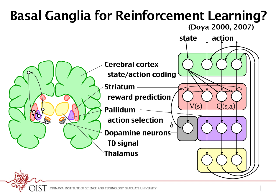 Slide: Basal Ganglia for Reinforcement Learning? (Doya 2000, 2007) state Cerebral cortex! state/action coding! Striatum! reward prediction! Pallidum! action selection! V(s) Q(s,a) action   Dopamine neurons! TD signal! Thalamus!