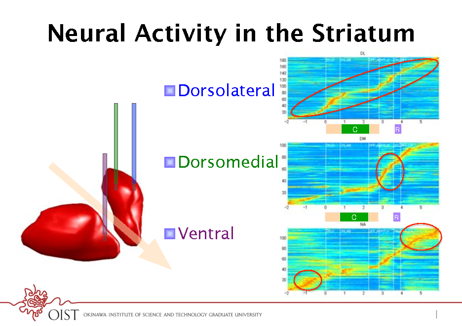 Slide: Neural Activity in the Striatum ! Dorsolateral C! R!  ! Dorsomedial  C!  R!  ! Ventral