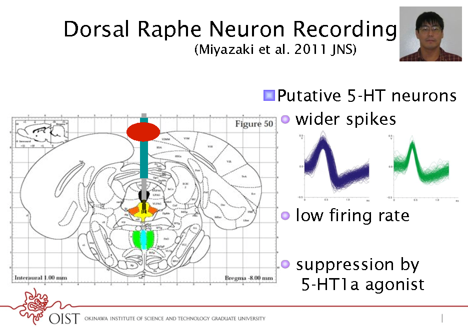 Slide: Dorsal Raphe Neuron Recording (Miyazaki et al. 2011 JNS) ! Putative 5-HT neurons !  wider spikes  !  low firing rate !  suppression by 5-HT1a agonist