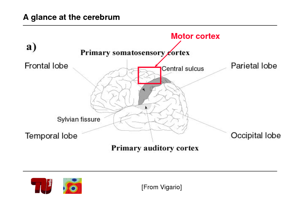 Slide: A glance at the cerebrum Motor cortex  [From Vigario]