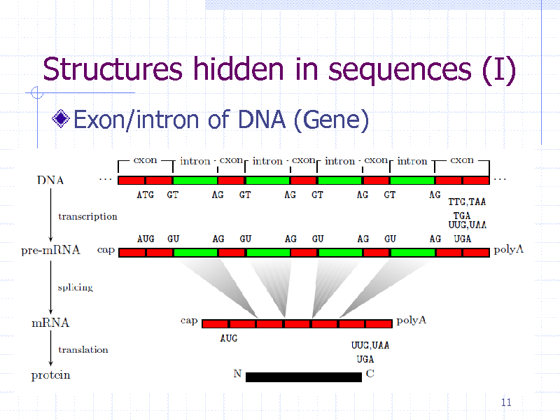 Slide: Structures hidden in sequences (I) Exon/intron of DNA (Gene)  11