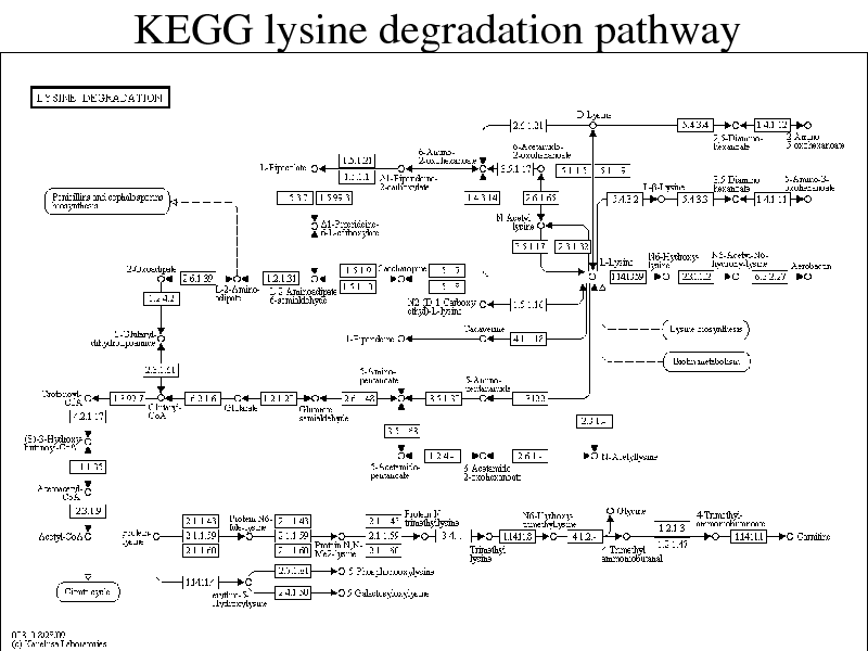 Slide: KEGG lysine degradation pathway